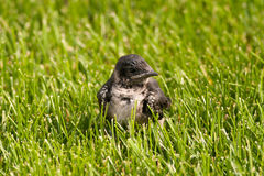 Baby Purple Martin Royalty Free Stock Photography