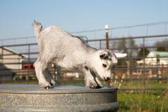Baby pygmy goat Royalty Free Stock Photo