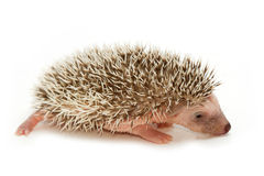 Baby pygmy hedgehog. Closeup baby pygmy hedgehog,isolate stock image
