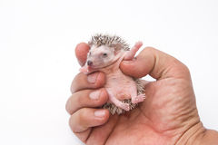 Baby pygmy hedgehog on hand. Baby pygmy hedgehog on human hand royalty free stock photography