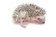 Baby pygmy hedgehog. Isolate on white stock image