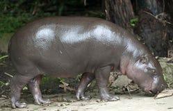 Baby pygmy hippopotamus. Pygmy hippopotamus (Choeropsis liberiensis or Hexaprotodon liberiensis Stock Photos