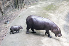 Baby Pygmy hippopotamus and mother Royalty Free Stock Image