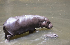 Baby Pygmy hippopotamus and mother Royalty Free Stock Photography
