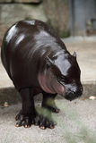 Baby pygmy hippopotamus Stock Photos