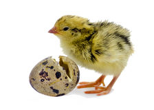 Baby of quail after hatching. Domesticated quails are important agriculture poultry Stock Images