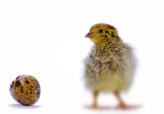 Baby of quail after hatching isolated on white. Selective focus was applied, the objects isolated on white Royalty Free Stock Photography