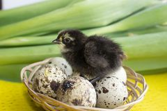 Baby quail sitting on eggs in a basket. Easter. The concept of the birth of a new life.  stock photo