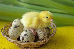 Baby quail sitting on eggs in a basket. Easter. The concept of the birth of a new life.  royalty free stock photo