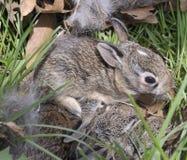 Free Baby Rabbit Royalty Free Stock Photo - 12375855