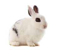 Baby rabbit Royalty Free Stock Photos
