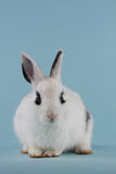 Baby rabbit Royalty Free Stock Photography