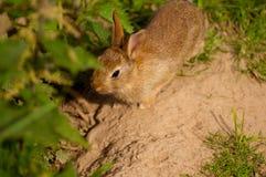 Baby rabbit. Stock Photos