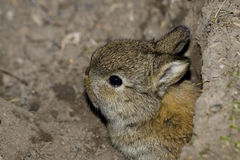 Baby rabbit Royalty Free Stock Photo
