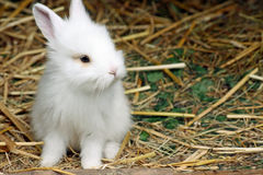 Baby rabbit Royalty Free Stock Image