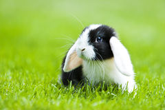 Baby rabbit Royalty Free Stock Images
