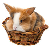 Baby rabbit in a basket Stock Photography