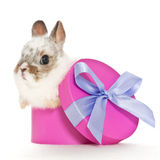 Baby rabbit in a box Royalty Free Stock Images