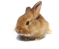 Baby rabbit. Royalty Free Stock Image