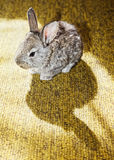 Baby rabbit on the carpet with its own shadow Stock Photos