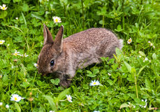 Baby rabbit in a Devon garden Royalty Free Stock Photos