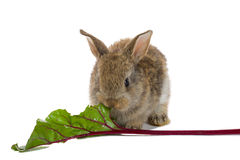Baby rabbit eating Royalty Free Stock Photos