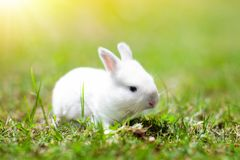 Baby rabbit eating grass outdoor on sunny summer day. Easter bunny in garden. Home pet for kid. Cute pets and animals for family. With children royalty free stock image