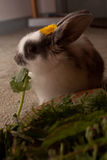 Baby rabbit eating greens Royalty Free Stock Images