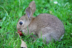Baby rabbit in grass Royalty Free Stock Images