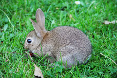 Baby rabbit in grass Royalty Free Stock Photos