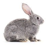 Baby rabbit. Royalty Free Stock Photography