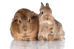 Baby rabbit and guinea pig close together Royalty Free Stock Image