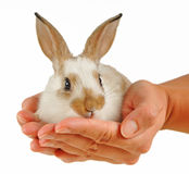 Baby rabbit in hands Royalty Free Stock Photo