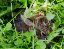 Baby rabbit. Hiding in the weeds being very still so as not to be seen Stock Photo