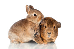 Baby rabbit kissing guinea pig Stock Photo