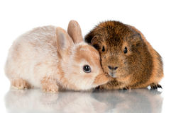 Baby rabbit kissing guinea pig Royalty Free Stock Image