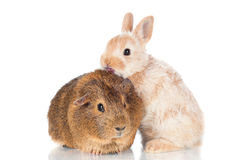 Baby rabbit kissing guinea pig Royalty Free Stock Photos