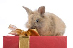 Baby rabbit on a present. Cute little baby angora rabbit on top of a present, isolated on a white background Stock Photos