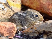 Baby rabbit on red rocks stock photography