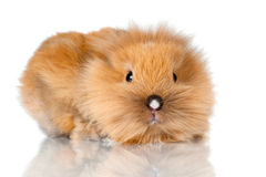 Baby rabbit scared Royalty Free Stock Image