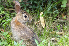 A baby rabbit is sitting in a city garden. Stock Image
