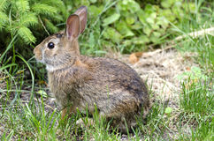 A baby rabbit is sitting in a city garden. Royalty Free Stock Images