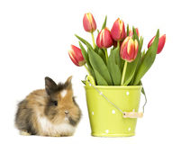 Baby rabbit with tulips Stock Photography
