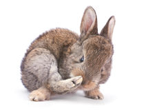 Baby rabbit on white Royalty Free Stock Image