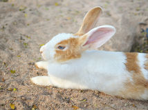Baby Rabbit Stock Photography