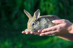 Baby rabbit in woman hand. stock images