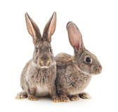 Baby rabbits. Brown baby rabbits on a white background Royalty Free Stock Images