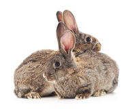 Baby rabbits. Stock Images
