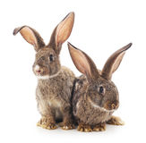 Baby rabbits. Brown baby rabbits on a white background royalty free stock photos