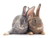 Baby rabbits. Stock Photography